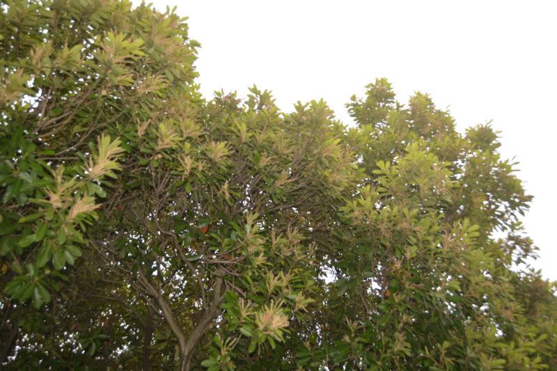 マテバシイの樹