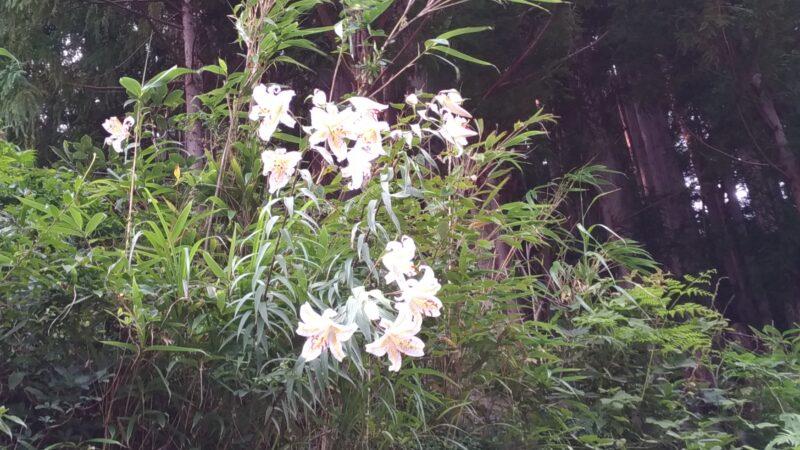山で咲くヤマユリ
