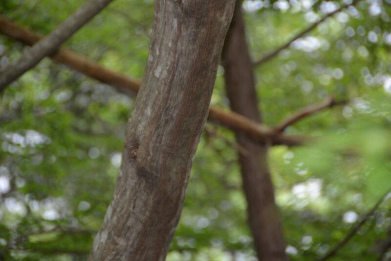 アカシデの樹皮