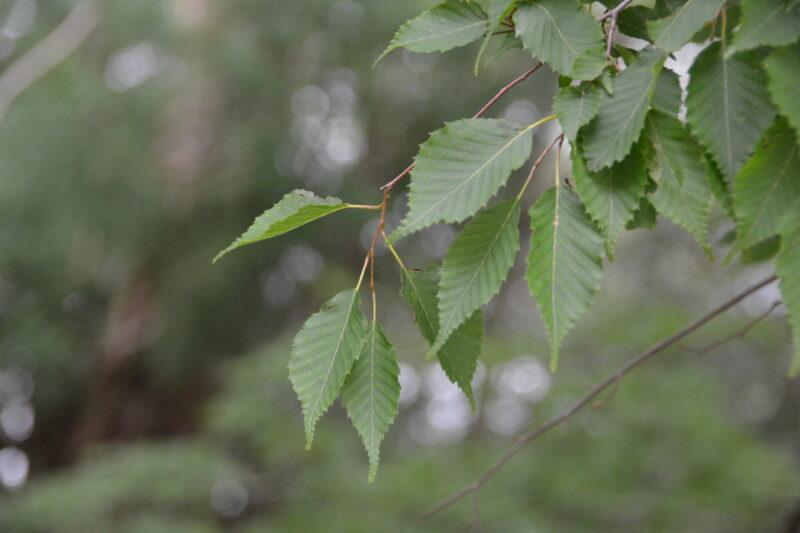 アカシデの葉