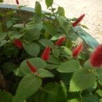 キャッツテールの花