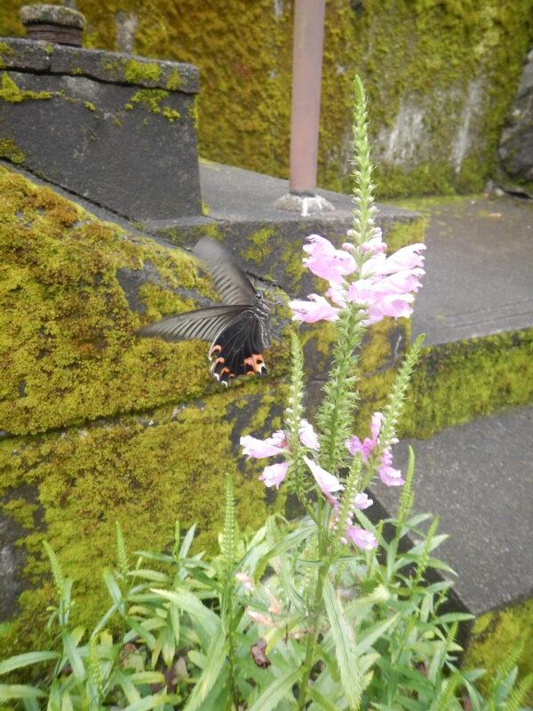 ハナトラノオの花とクロアゲハ