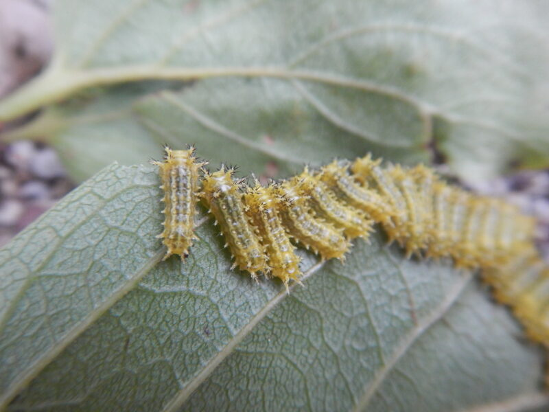 カキの葉を食べるイラガの幼虫