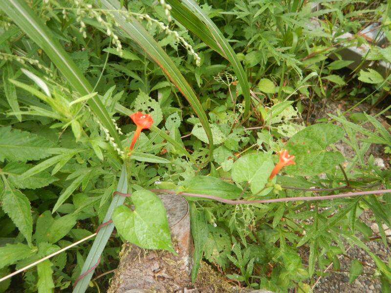 マルバルコウの花とツル