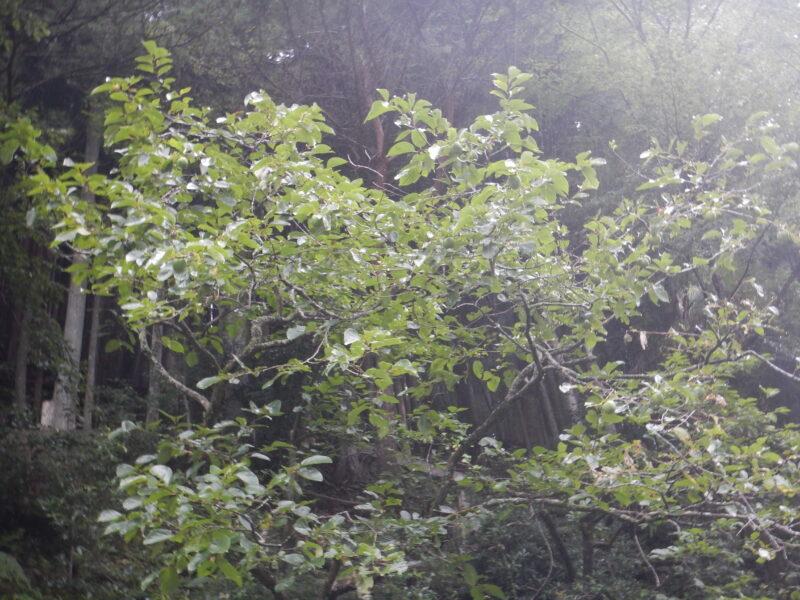 イラガがついた柿の木