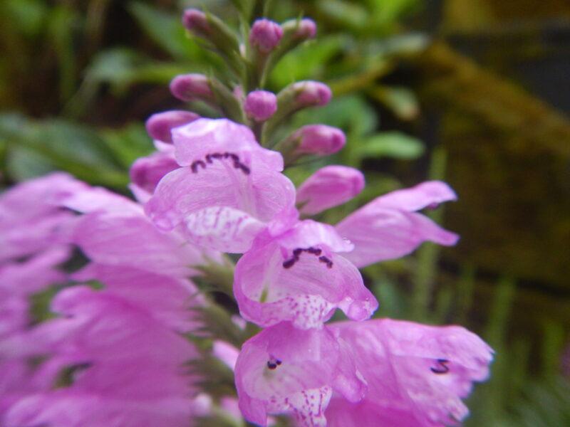 近づいて見るハナトラノオの花