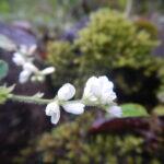 ネコハギの花