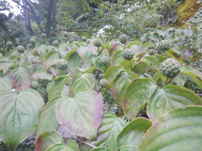 緑のヤマボウシの実