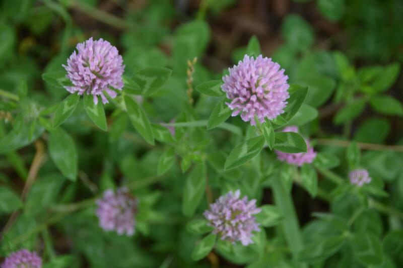 ムラサキツメクサの花
