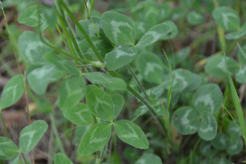 ムラサキツメクサの葉