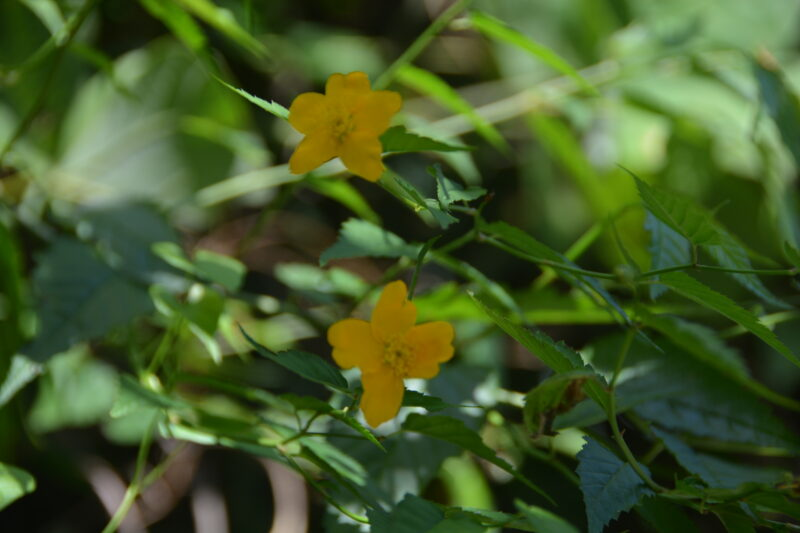 8月に咲いたヤマブキの花