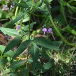 アレチヌスビトハギの葉