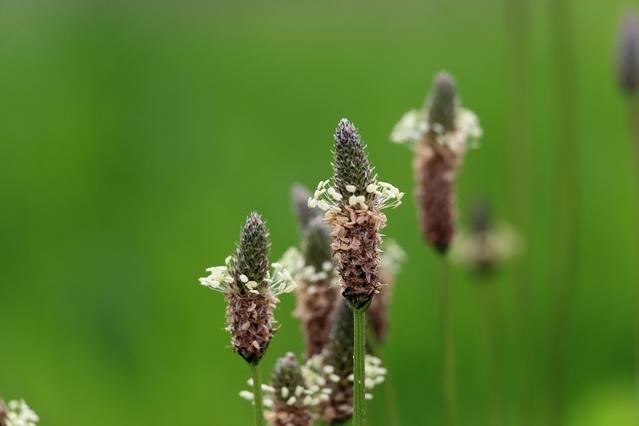 ヘラオオバコの花