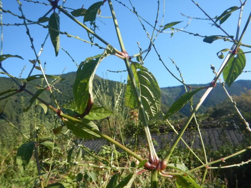 イノコズチの茎