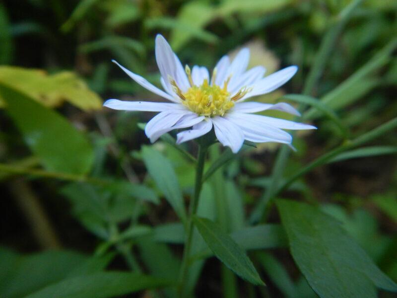 ヨメナの花