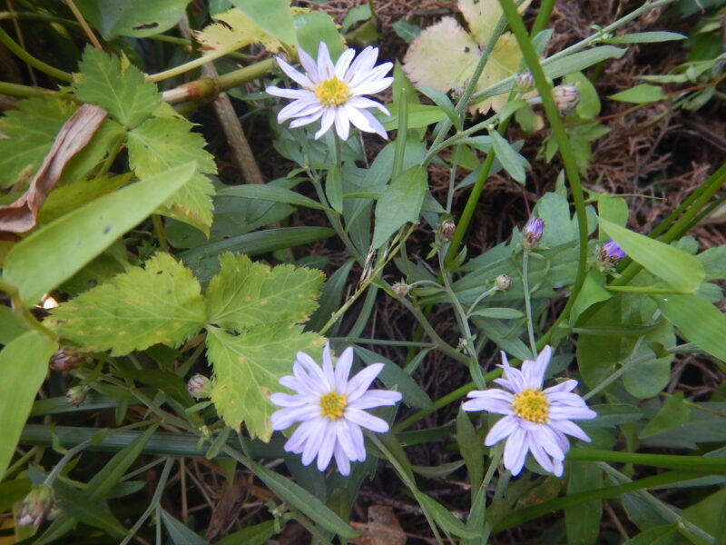 ヨメナの花々