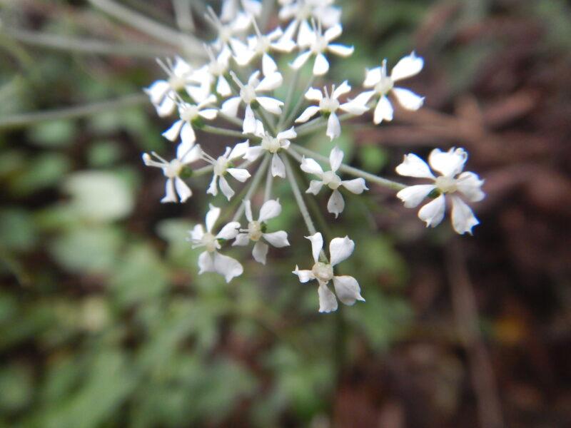 ドキニンジンの花