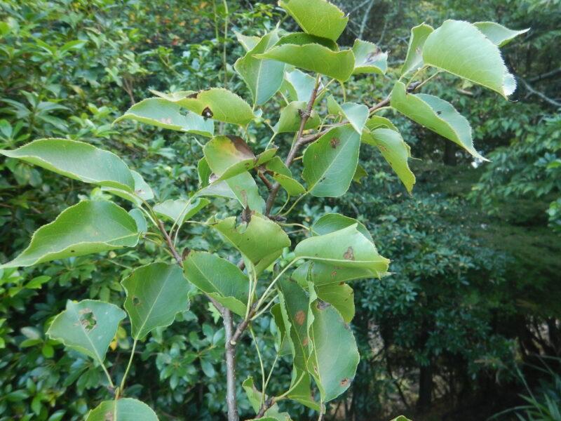 ヤマナシの枝・葉