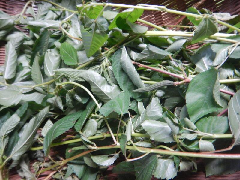 収穫したモロヘイヤ
