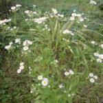 ヒメジョオンの花々