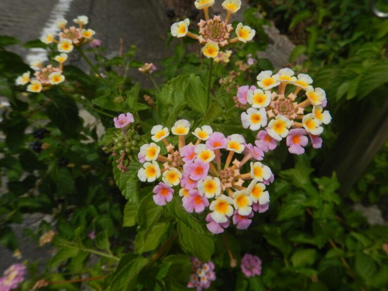 ランタナの花々