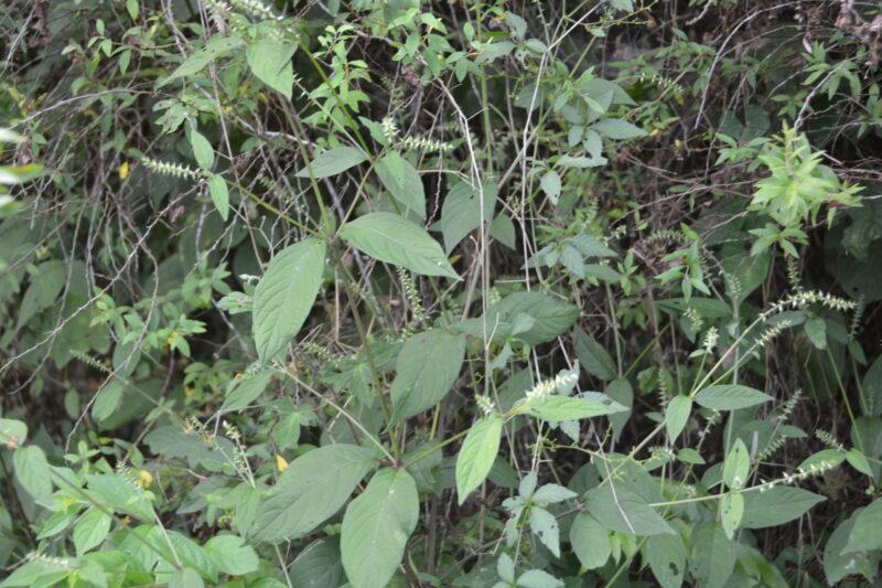 イノコズチの茎・葉